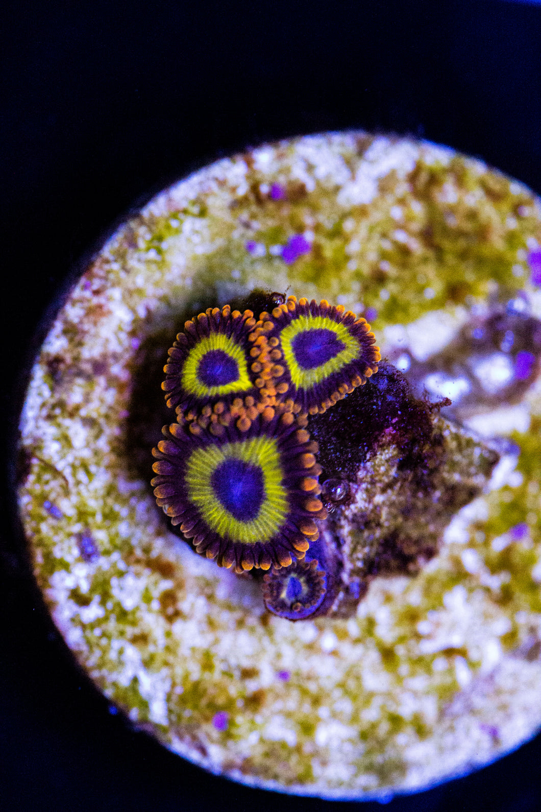 Fruit Loop Zoa