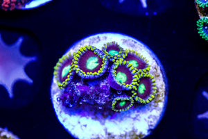 Purple and Green Zoa