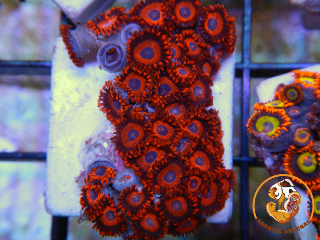 Ultra Red Zoas c16-2019-11-09