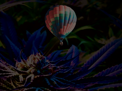 Will Hemp Flower Get me High Balloon Flower