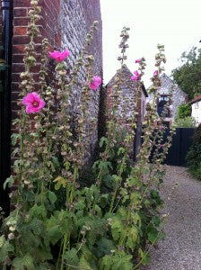 Huge Hollyhocks!