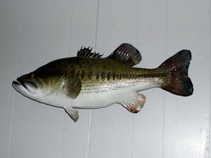 Largemouth Bass 8 -- 24 1/2 x 18