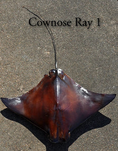 Cownose Ray 1 -- 22w x 15long