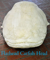 Flathead Catfish Head