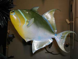 Queen Triggerfish 1 -- 16 x 16