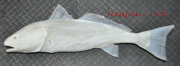 Redfish 43 -- 29 1/2 x 15
