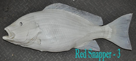 Red Snapper 3 -- 29 x 22 1/2