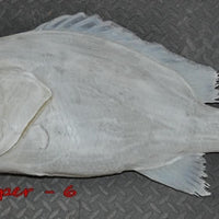 Red Snapper 6 -- 33 x 26
