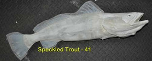 Speckled Trout 41 -- 29 x 14 1/2