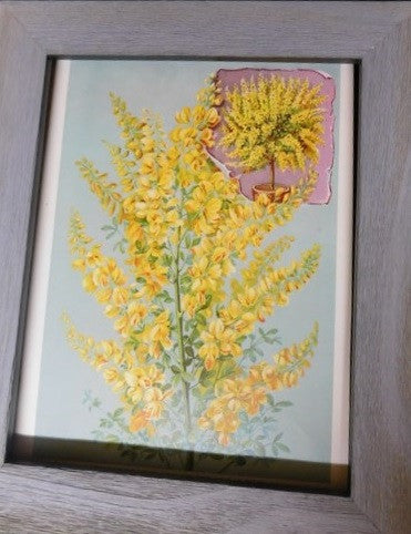 1880s print - Genista or Shower of Gold