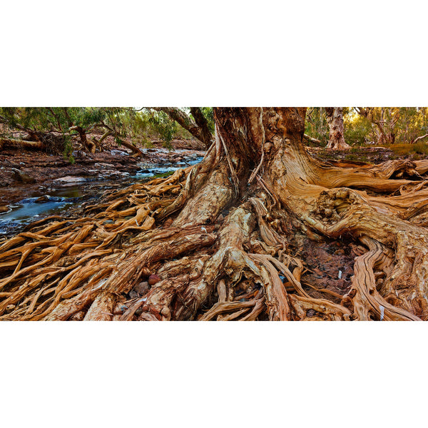 Old man paperbark root system.