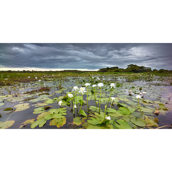 Water lilies under stormy skies in Kakadu National Park.