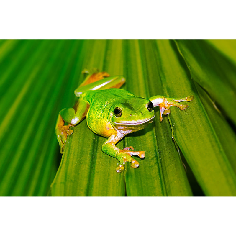 A bright green tree frog camouflaged on a green palm frond