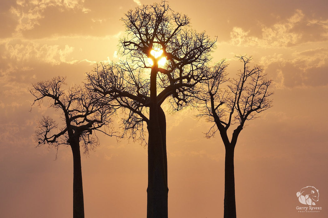 Baobab Sunset - Artfest Ontario - Garry Revesz - Photographic Art