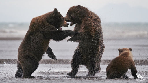 Grizzly Cat Fight - Artfest Ontario - Garry Revesz - Photographic Art