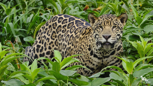Jaguar on the Hunt - Artfest Ontario - Garry Revesz - Photographic Art