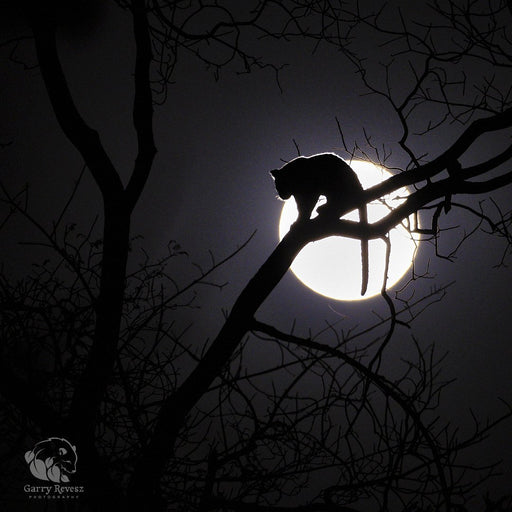 Leopard Cub in Full Moon - Artfest Ontario - Garry Revesz - Photographic Art
