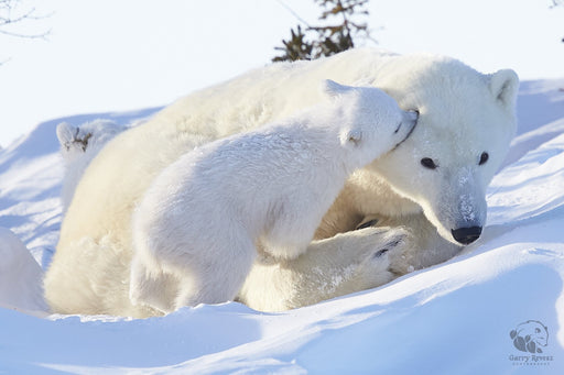 Polar Bear Mom and Cub - Artfest Ontario - Garry Revesz - Photographic Art