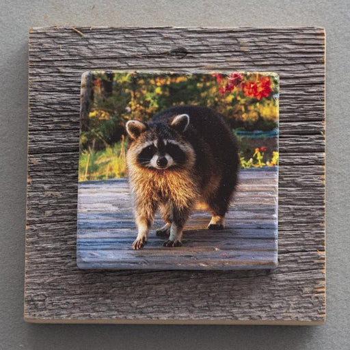 Raccoon - On Barn Board 0106 - Artfest Ontario - Art On Stone - Photography