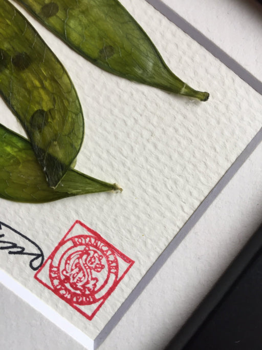 "'Snap Peas Mini Frame"" by Botanical Art By Diane De Roo - Artfest Ontario - Botanical Art By Diane De Roo - Vegetable Art"