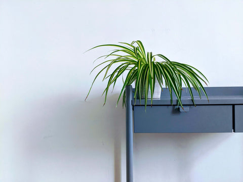 Spider Plant on a Desk
