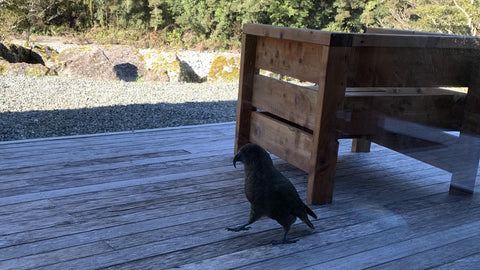 Kea - beautiful red and green, extremely clever and very sociable mountain parrots notorious for their ability to destroy anything that can be pulled apart with a beak - including cars and tramping boots!