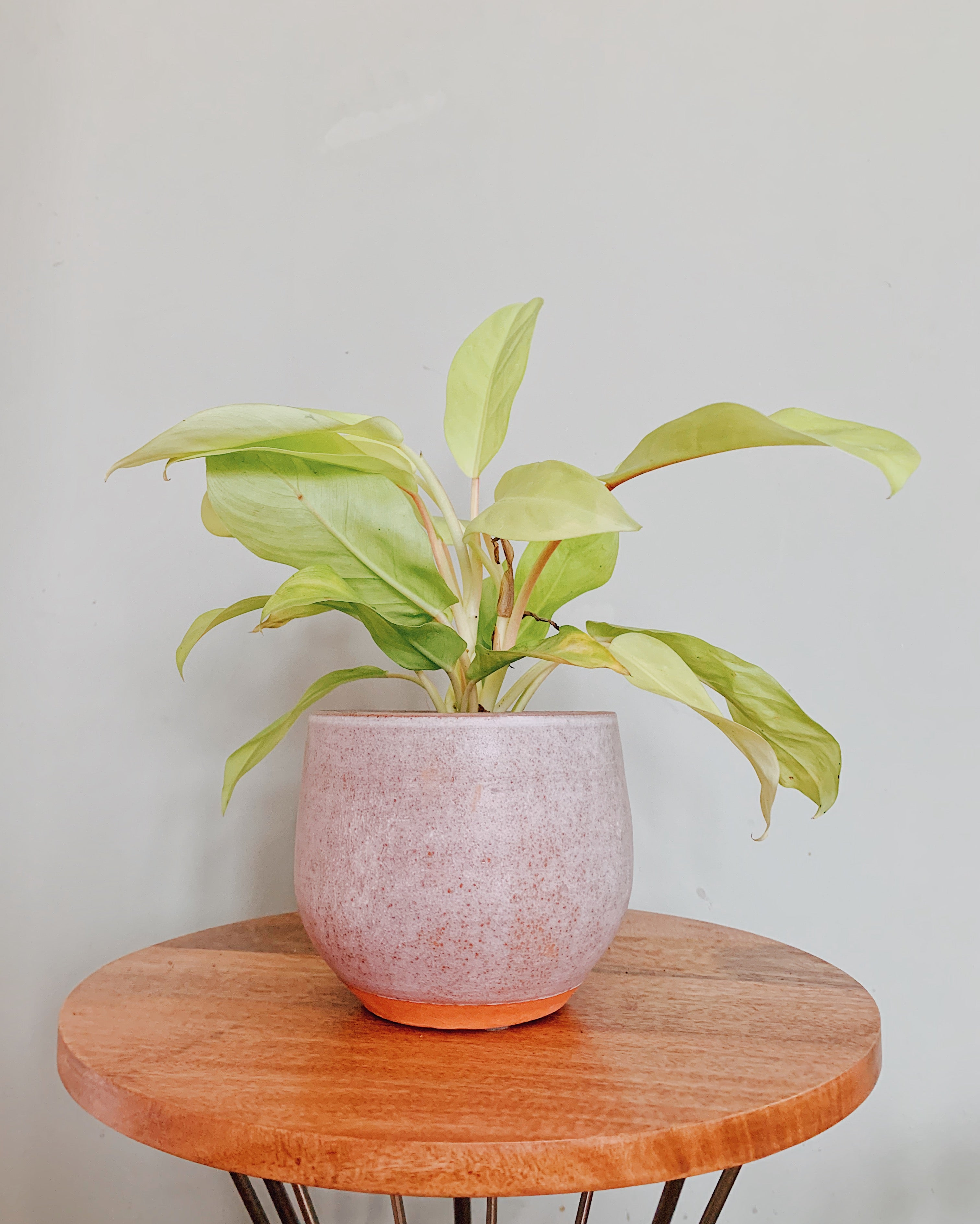 Malay Gold Philodendron