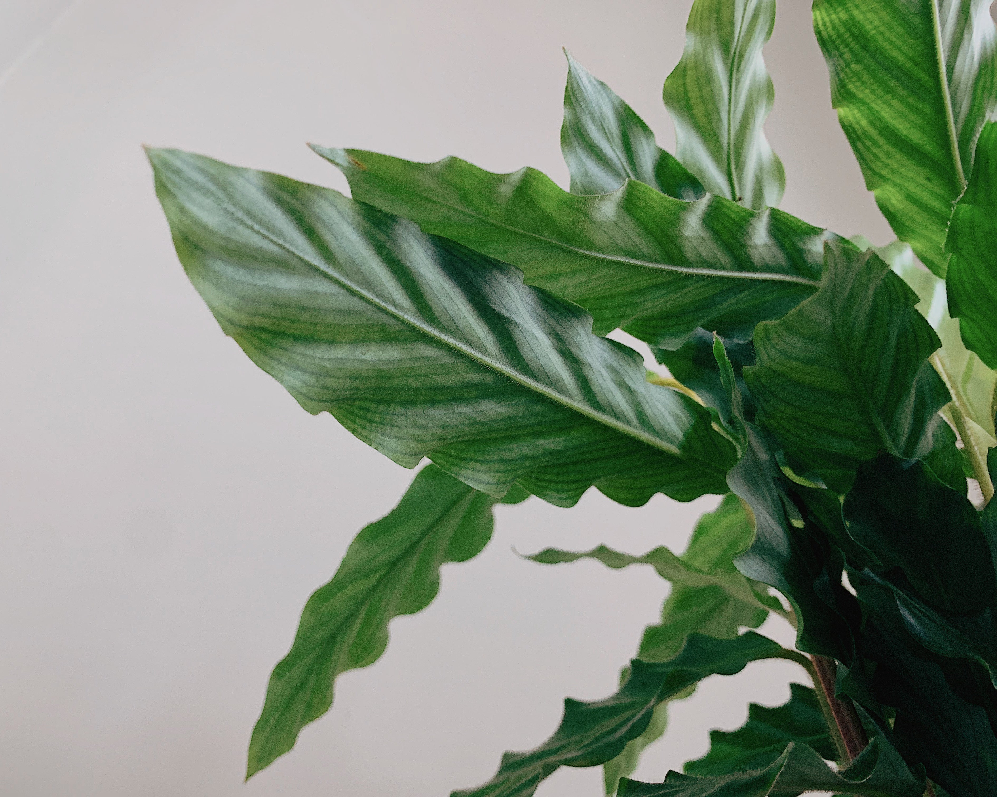 Fury Feather Calathea