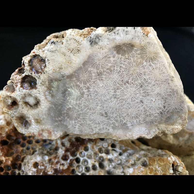 Indonesian Agatized Coral Rough