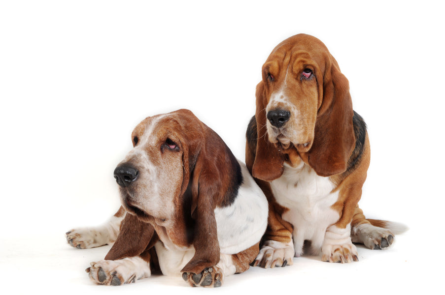 List of Basset Hound Rescues from Around the World