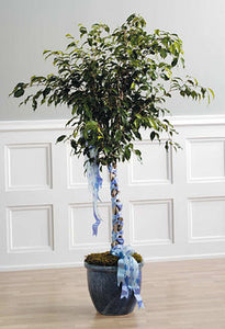 Ficus Tree with Braided Ribbon