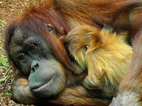Orangutan, image by Rudy and Peter Skitterians