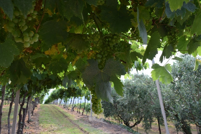 stefanini-vineyards