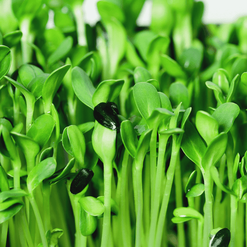 Fresh & Organic Microgreens Delivered To Your Home Rosellas Garden Sunflower