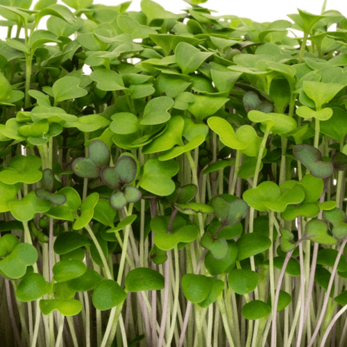Fresh & Organic Microgreens Delivered To Your Home Rosellas Garden Mellow Mix