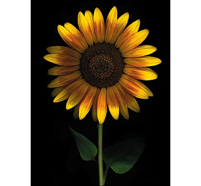 Birthday Card - Sunflower