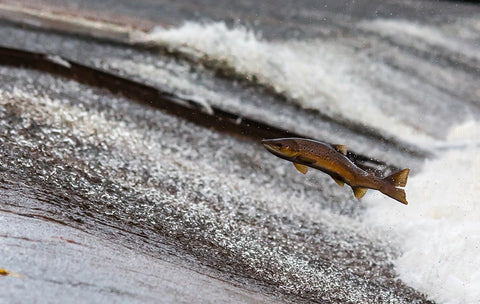 Salmon jumping out of water