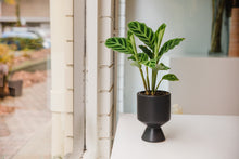 Load image into Gallery viewer, Calathea Zebrina