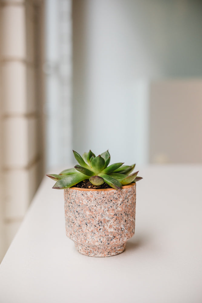 Baby Succulent in Speckled Pot