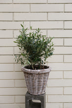 Load image into Gallery viewer, Olive Tree - White Wicker Basket