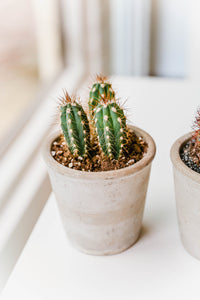 Cactus in Grey Pot