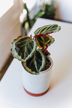 Load image into Gallery viewer, Calathea Picturata