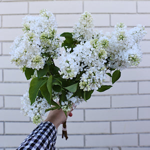Fragrant Lilac Bunch