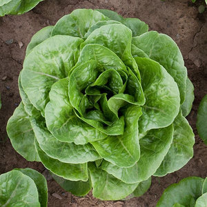 Winter Density Lettuce Seeds