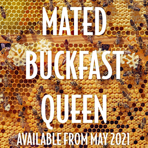 Italian Buckfast Queen, marked and mated, available June 2021
