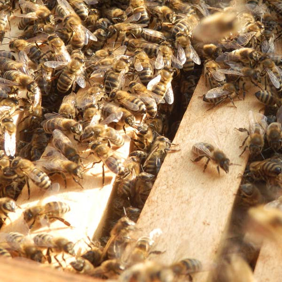 Overwintered Nuc of British Buckfast Bees with Queen [DEPOSIT ONLY]