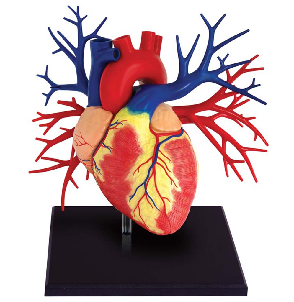 Anatomy Heart 4D Deluxe Model