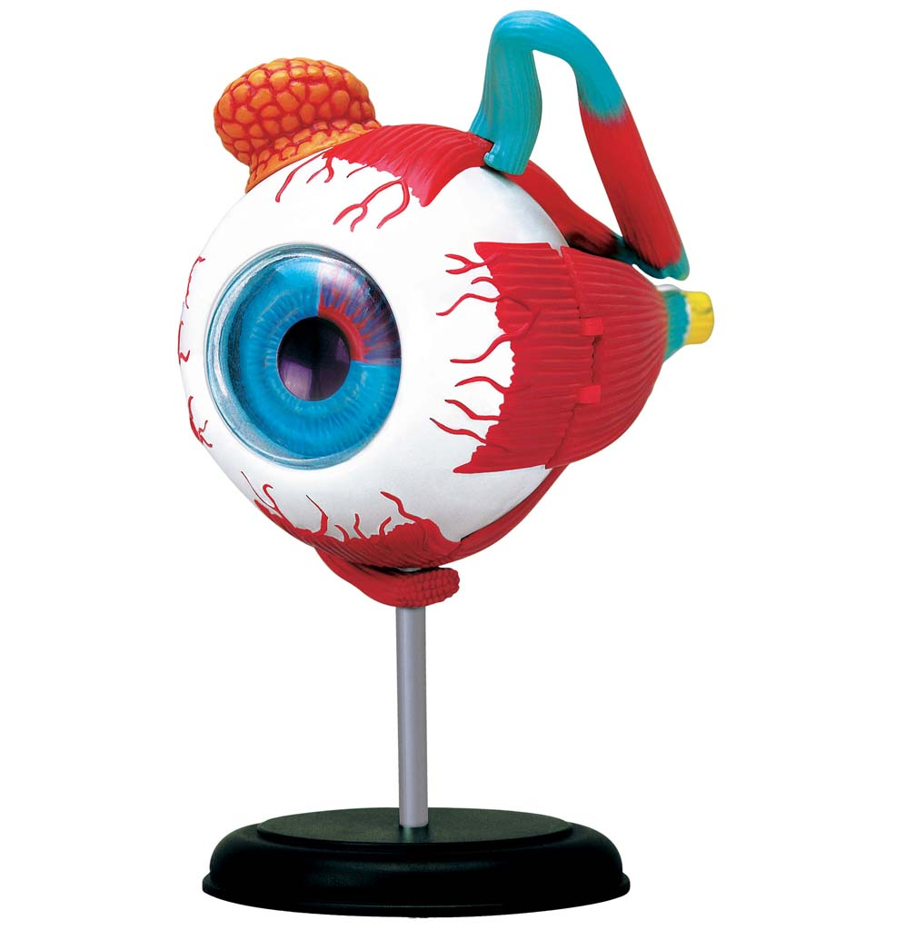Eyeball 4D Anatomy Model
