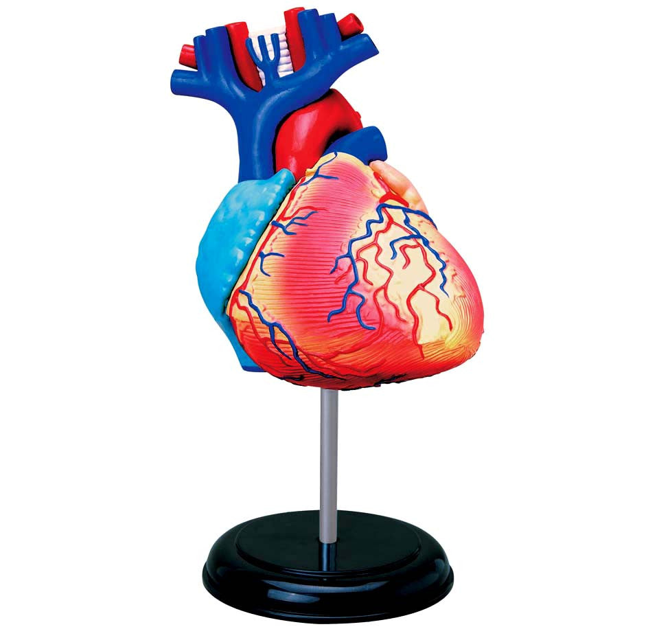 Human Heart 4D Anatomy Model