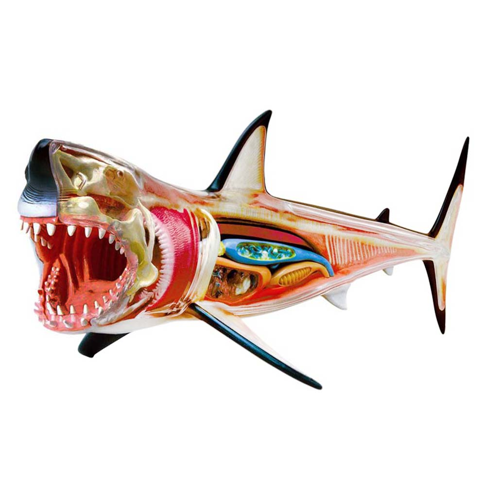 Great White Shark 4D Anatomy Model